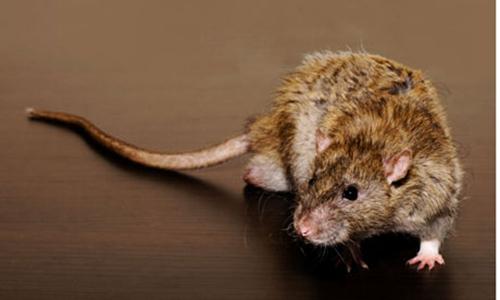 新型老鼠药可阻老鼠怀孕