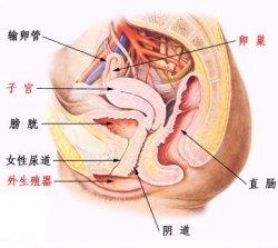 影响女性生理身体的阴蒂高潮主要部位