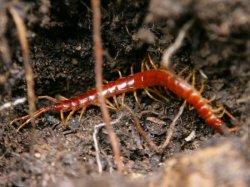夏天蜈蚣出来活动时刻,不小心被小蜈蚣咬了怎么办
