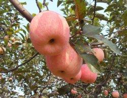 苹果吃多了会怎么样,关于苹果的一些详细介绍