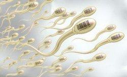 精子是怎么样的运动轨迹,是如何进入母体子宫受孕的过程