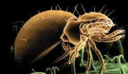 恙虫咬人致死又添一例,什么是恙虫病,看恙虫病症状