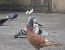鸽子的粪便含有细菌,不小心可致眼睛失明和脑膜炎