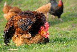 鸡是怎么交配的 鸡交配的全过程